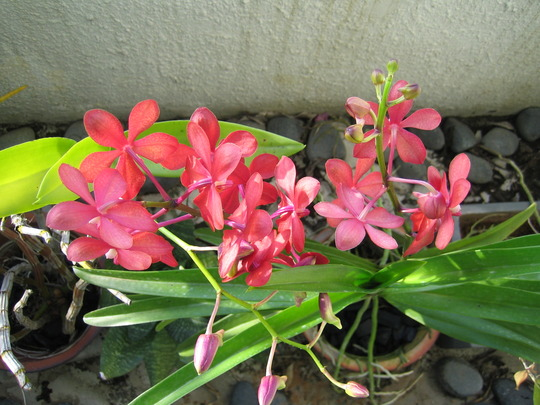 A garden flower photo (mokara)