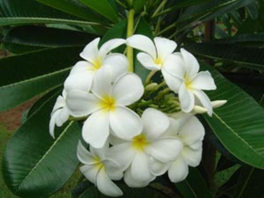 Singapore Frangipani (Plumeria obtusa)