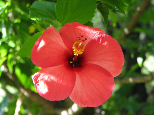 Hibiscus - with the smooth petals (Hibiscus rosa-sinensis (Chinese Hibiscus))