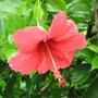 Hibiscus_11