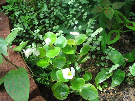 Little corners of the greenhouse 5 (Begonia semperflorens-cultorum)
