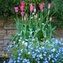 More tulip