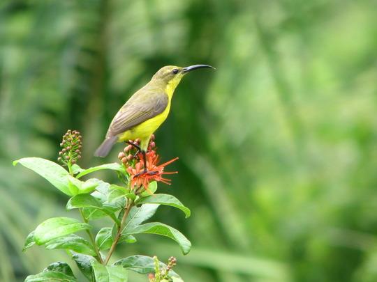 Yellow-bellied Sunbird - nectarinia jugularis