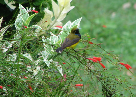 Yellow-bellied Sunbird - nectarinia jugularis