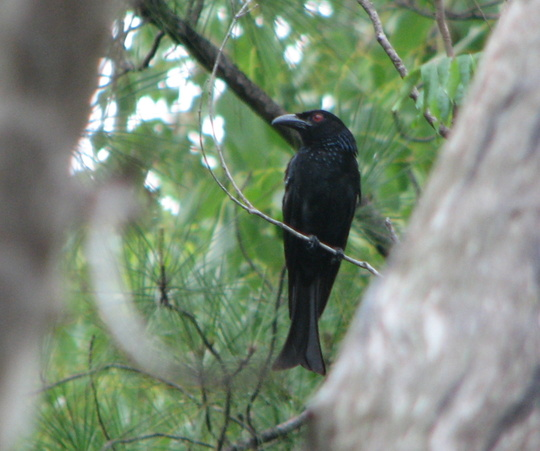 It was a Spangled Drongo - yes that's its name! - dicrurus bracteatus