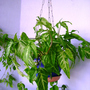 Syngonium (Syngonium podophyllum (Arrow Head Vine))