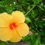 Hibiscus_yellow