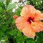 Hibiscus_orange