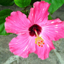 Hibiscusrose_single