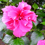 Hibiscus_red_double