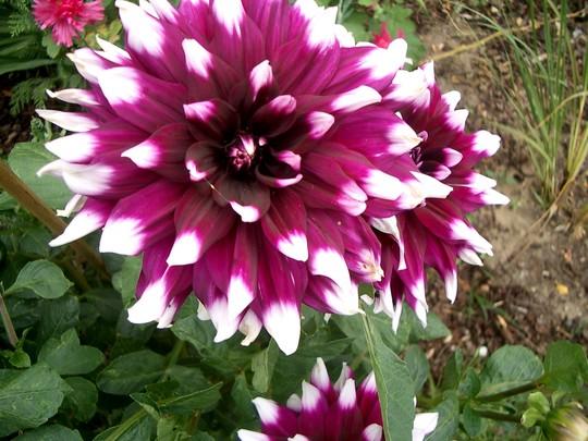 Purple dahlia (Dahlia Pinnata (Dahlia))