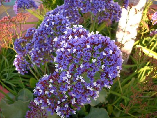 Limonium perezii - Blue Flowers (Limonium perezii)