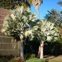 Bismarckia nobilis - Bismarck Palm (Bismarckia nobilis - Bismarc)