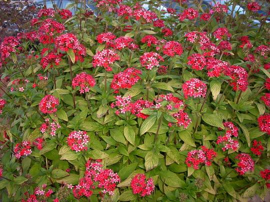 Pentas lanceolata - Star Flowers (Pentas lanceolata - Star Flowers)