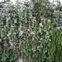 Rosmarinus officinalis - Rosemary (Rosmarinus officinalis - Rosemary)
