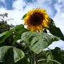 Sunflower_10_