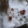 Sarracenia purpurea in the snow (Sarracenia purpurea (Huntsman's cap))