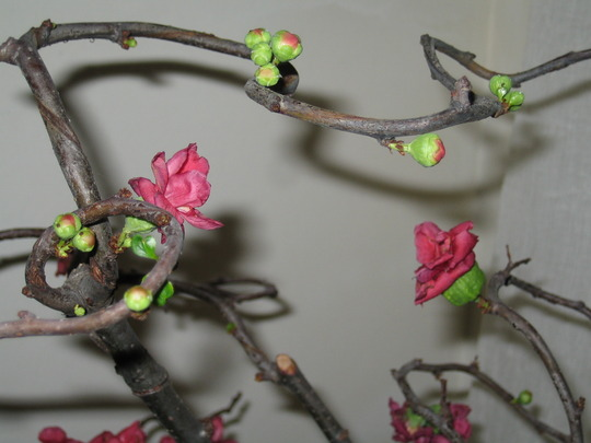Budding flowers and leaves (Chaenomeles japonica)