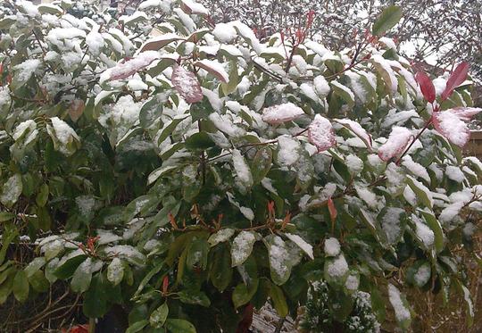 Winter Photinia (Photinia x fraseri (Christmas berry))