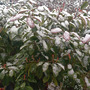 Winter Photinia (Photinia x fraseri (Christmas berry))