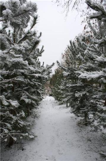 My Corsican Pines With A Dusting Of Snow Today (Pinus nigra)