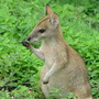 Wallaby_75