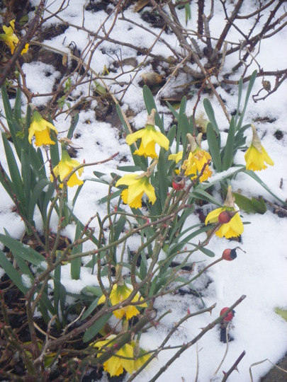 Daffodils in snow...........