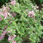 Weigela Variegata  (Weigela florida)