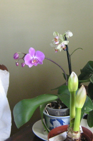 orchids starting...and amaryllus buds