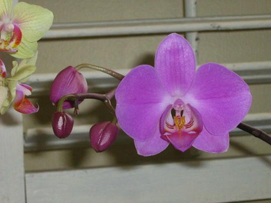 Rebloom...my Phalaenopsis has started blooming again!