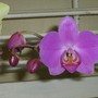 Rebloom...my Phalaenopsis has started blooming again!