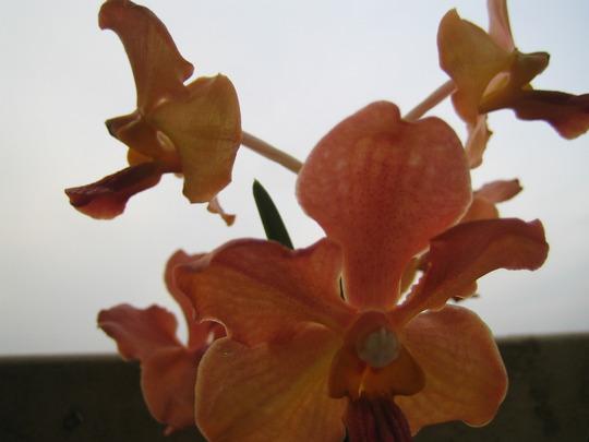 Close up (vanda/aranda hybrid)