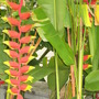 Lobster's Claws (Heliconia rostrata (Lobster Claw))
