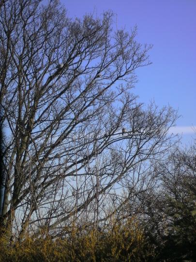 Winter Field Maple