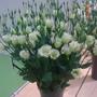 Lisianthus Rosita White (Eustoma)