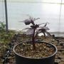 Aconitum sajanense