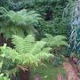 Tree Fern's (Dicksonia antarctica (Soft tree fern))