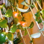 Goldfish back in the House (Nematanthus gregarius)