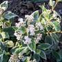 vib_tinus.jpg (Viburnum tinus (Laurustinus))