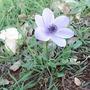 flowers/Anemone (Anemone)
