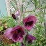 Gladiolus papilio Ruby