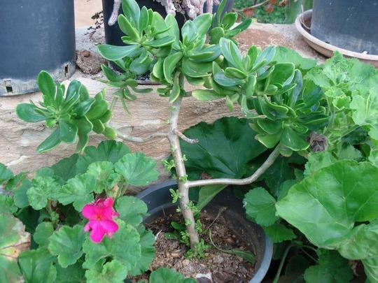 my succulent collection/Sedum praelatum (Sedum praelatum)