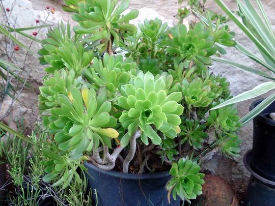 my succulent collection/Aeonium manriqueorum (Aeonium manriqueorum)