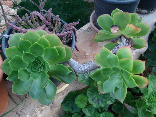 my succulent collection/aeonium percaeum (aeonium percaeum)