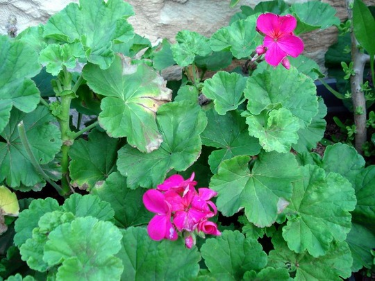 my flowers/geraniums (geraniums)