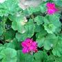 my flowers/geraniums (geraniums)