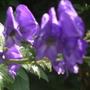 Aconitum 'Sparks Variety' (Aconitum carmichaelii (Monkshood))