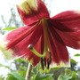 Lilium Nepalense