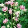 Aquilegia 'Nora Barlow' - May 2007 (Aquilegia vulgaris)