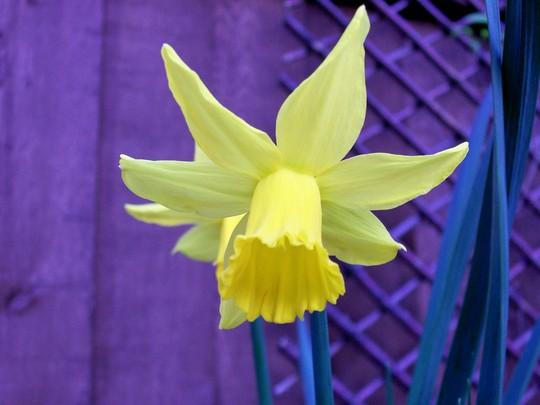Daffodils feb 08 (Narcissus cyclamineus (Daffodil))
